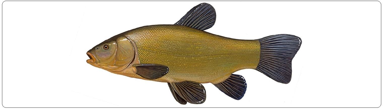 lin-ryba