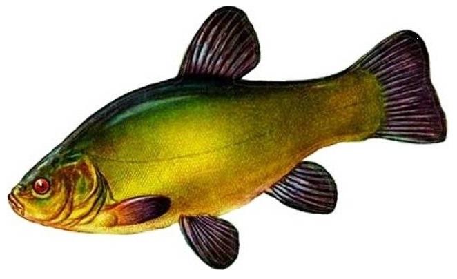 Рыба линь Tinca-Tinca